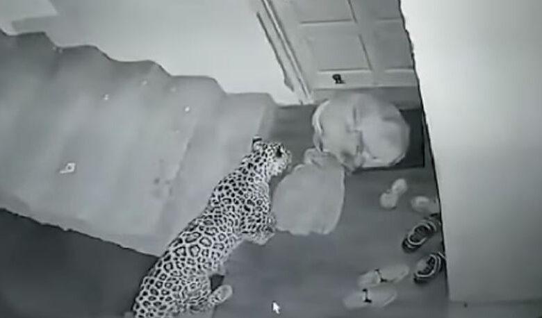 leopard 815x458
