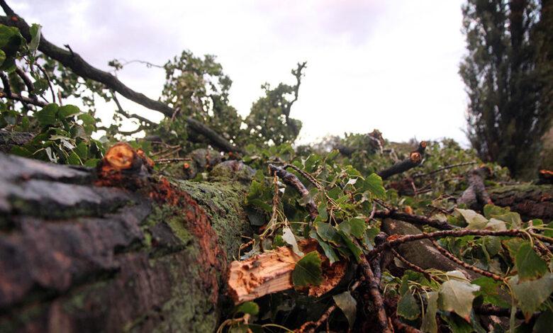 oluja drvo zemun mondo goran sivacki 23