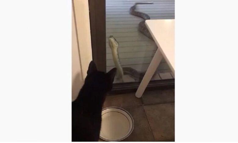 zmija macka australija