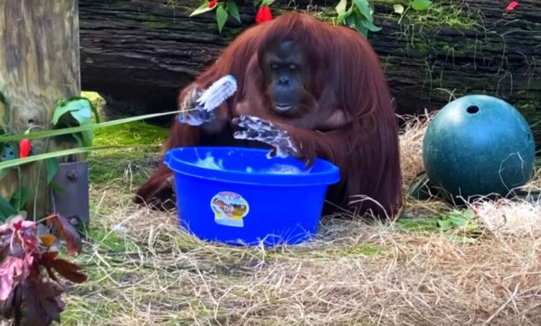 sandra orangutanica majmunica pranjeruku prtscr