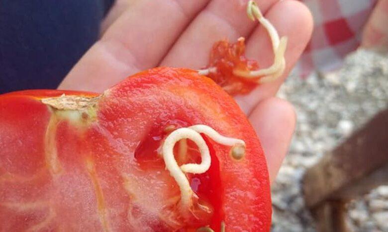 paradajz 830x0