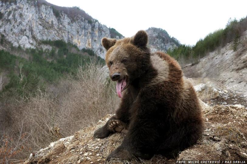 Dvoje privedenih zbog sumnje da su UBILI MEDVJEDA u blizini Berana: Zalutala je s medvjedima u grad, ubijena u zasjedi